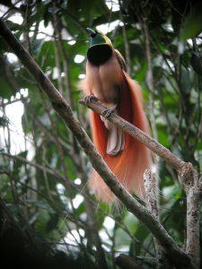 raggiana_bird-of-paradise_wild_5